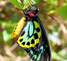 The Cairns Birdwing by robmac