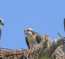 Mother`s day osprey style! by jozi1