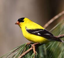 American Goldfinch by naturalnomad
