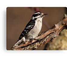 Downy Woodpecker / Female Canvas Print