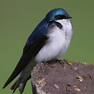 Tree Swallow by naturalnomad