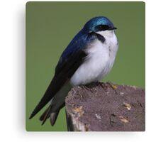 Tree Swallow Canvas Print