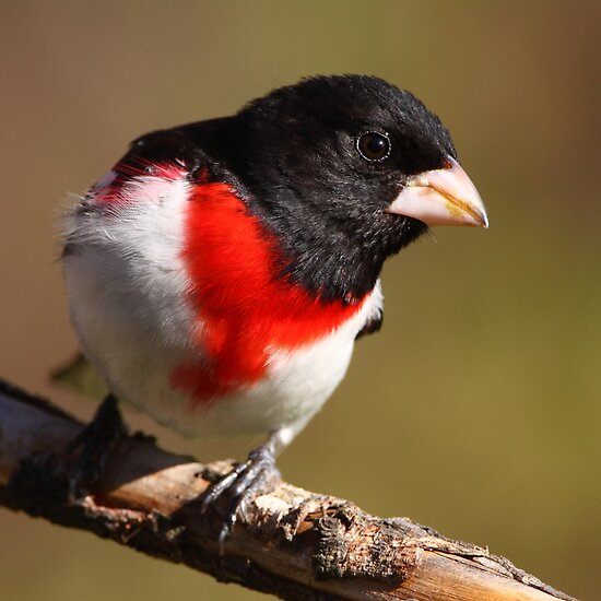 Rose-breasted Grosbeak Squared by naturalnomad