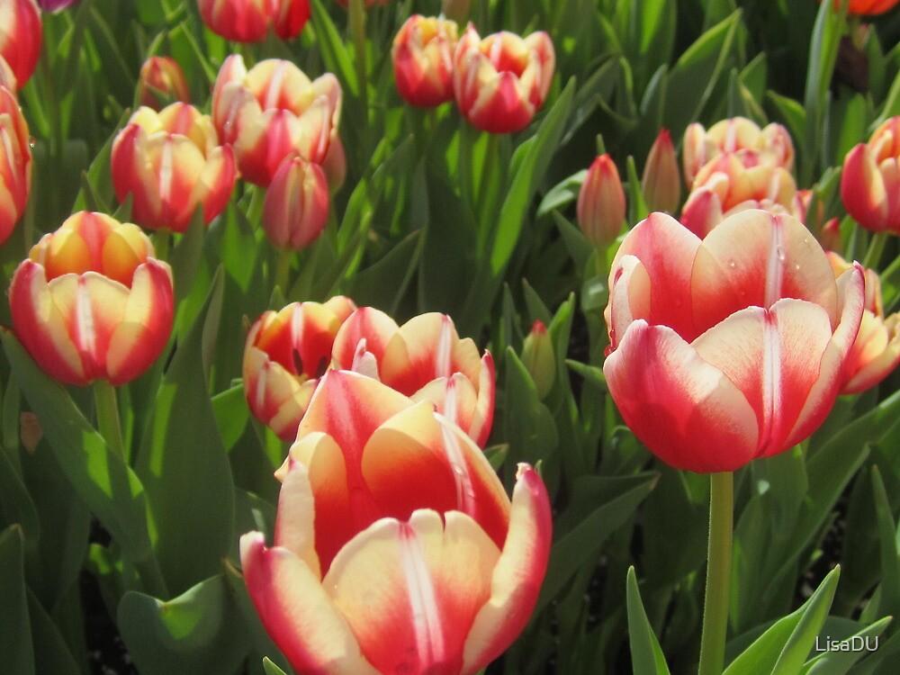 Those glorius tulips! by LisaDU