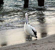 The Pelican by Tainia Finlay