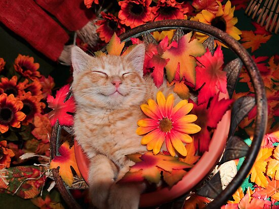 Good Morning Smile ~ Cute Kitty Cat Kitten in Fall Colors taking a Nap by Chantal PhotoPix