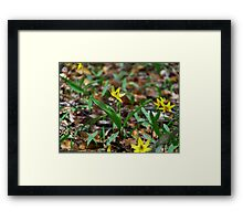 Yellow Trout Lily  Framed Print