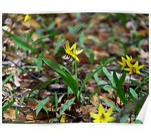Yellow Trout Lily  Poster