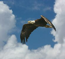 AMERICAN BALD EAGLE by TomBaumker