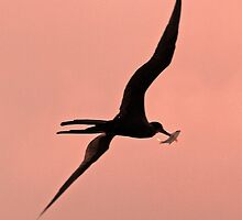 Silhouetted frigate bird with catch by jozi1