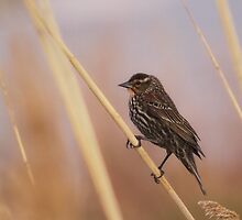 Female Redwing Blackbird by Jessica Dzupina
