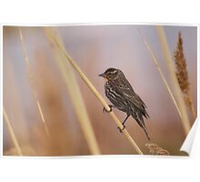 Female Redwing Blackbird Poster