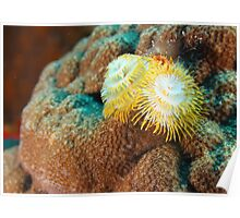 Yellow Christmas Tree Worm in Bonaire Poster