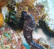Seahorse in Bonaire by Rich Synowiec