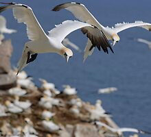 Gannets hovering over the colony, Saltee Island, County Wexford, Ireland by Andrew Jones