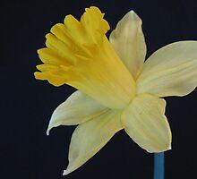 Daffodil by Mary  Knoth
