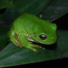 Green Tree Frog by KeepsakesPhotography Michael Rowley