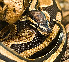 Ball Python Snake by KWTImages