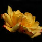 Yellow Rose by Samantha Higgs