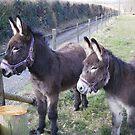Donkey, donkey by anaisnais