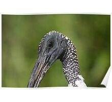 Australian White Ibis - Close-up Poster