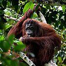 Large Female Orangutan, Borneo  by Carole-Anne