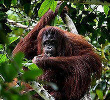 Large Female Orangutan, Borneo  by Carole-Anne