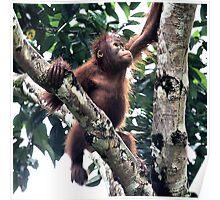Baby Orangutan, Borneo  Poster