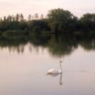 Swan on lakes in Somerset by anaisnais