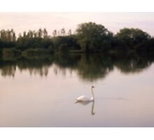 Swan on lakes in Somerset Photographic Print