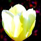 White Tulip by Carrie Bonham