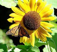 Sunflower Butterfly by ProgNozzle