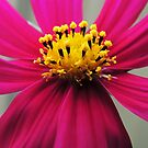 Beautiful Cosmos by Marilyn Harris
