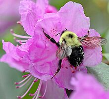 Bumble Bee - Pink Azalea by T.J. Martin