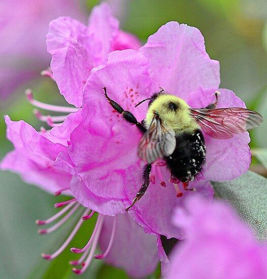 Bumble Bee - Pink Azalea by T.J. Martin