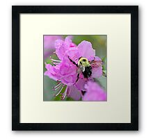 Bumble Bee - Pink Azalea Framed Print