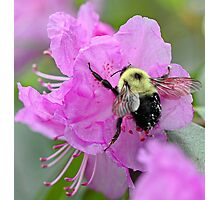 Bumble Bee - Pink Azalea Photographic Print