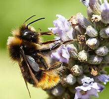 The bee and the lavender by Sara Sadler