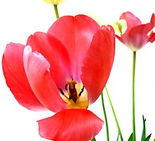 Red and Yellow Tulips by HeklaHekla