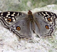 Beautiful Grey Butterfly Resting On A Rock by aneyefornature
