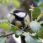 Great tit by LisaRoberts
