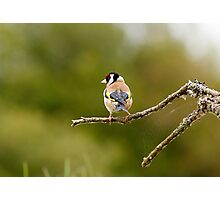 Goldfinch Perching on a branch. Photographic Print