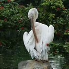 Pelican Preening by Chris Cherry