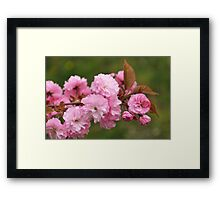 Blossoming cherry tree Framed Print