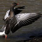 The Greylag Goose by snapdecisions