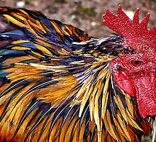 Real Cool Rooster by naturelover