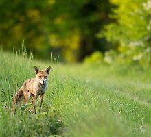 Mr. Fox by Penny Dixie
