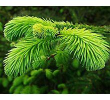 Pine Photographic Print