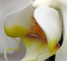 Close Up Of A White Orchid by aneyefornature