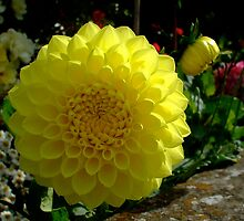 yellow dahlia in the border by Babz Runcie
